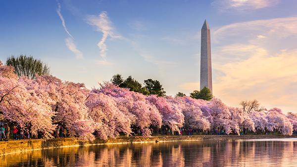 """A springtime view of The Washington Monument in Washington, DC, USA, obscured by cherry trees in full bloom."""