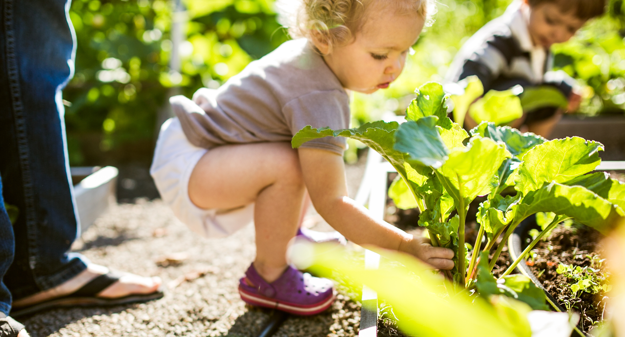A baby grabs large green leaves of spinach from a garden on a sunny day.